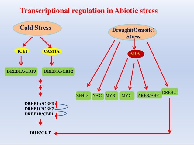 Transcriptional regulation in Abiotic stress Cold Stress Drought(Osmotic) Stress ICE1 CAMTA DREB1A/CBF3 DREB1C/CBF2 DREB1A...