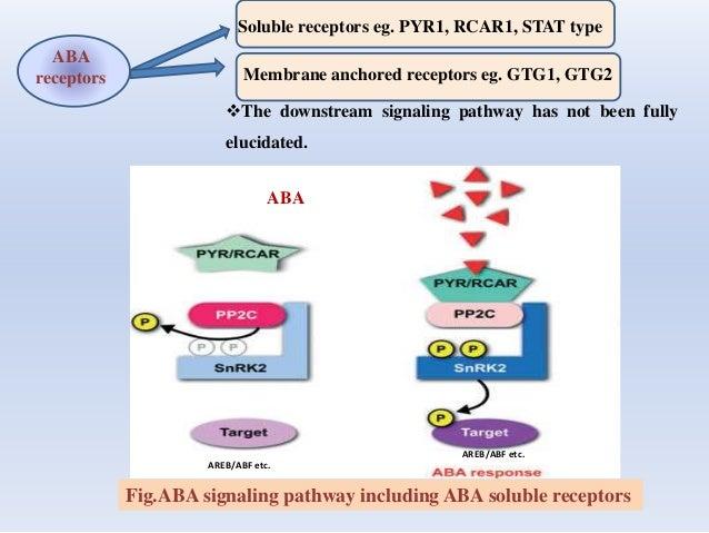 ABA receptors Soluble receptors eg. PYR1, RCAR1, STAT type Membrane anchored receptors eg. GTG1, GTG2 The downstream sign...