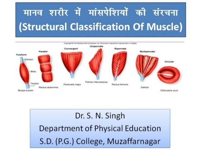 ekuo 'kjhj esa ekalisf'k;ksa dh lajpuk (Structural Classification Of Muscle) Dr. S. N. Singh Department of Physical Educat...