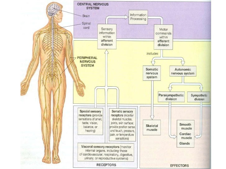 Structural organization of nervous system new nervous ccuart Gallery