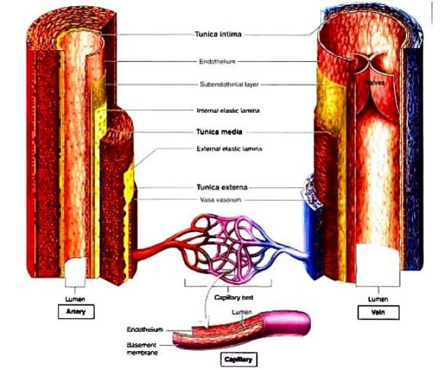 structure and function of arteries and veins