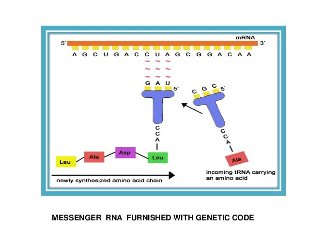 Structure And Function Of Messenger Rna Mrna