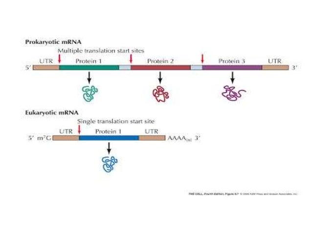 structure and function of messenger rna mrna rh slideshare net