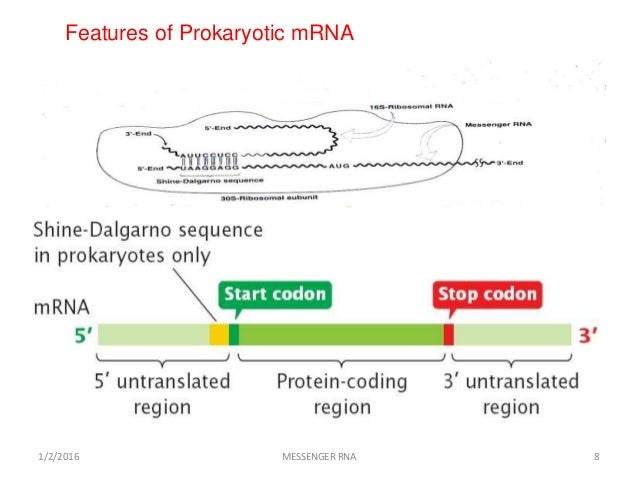 Structure and function of Messenger RNA (mRNA )