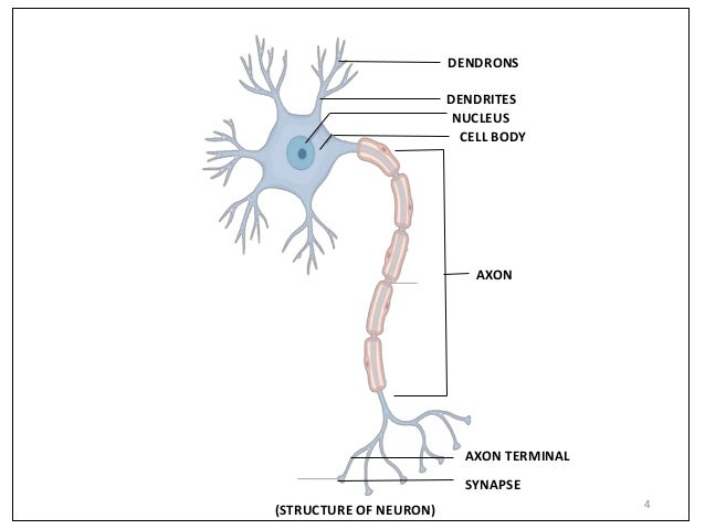 Structure and function of neuron unipolar dendrites axon 4 4 dendrites nucleus cell body axon axon terminal synapse structure of neuron dendrons ccuart Image collections