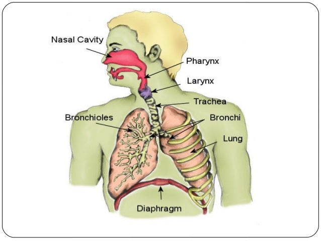 What is the function of the bronchi?