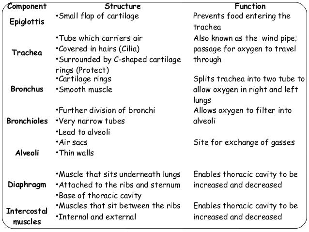 structure and function of the lungs, Cephalic Vein