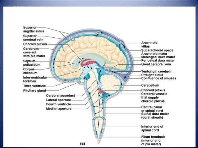 Structure and functions of brain hydrocephalus 15 brain ccuart Gallery