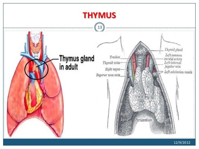 Diagram Of Human Thymus - DIY Enthusiasts Wiring Diagrams •