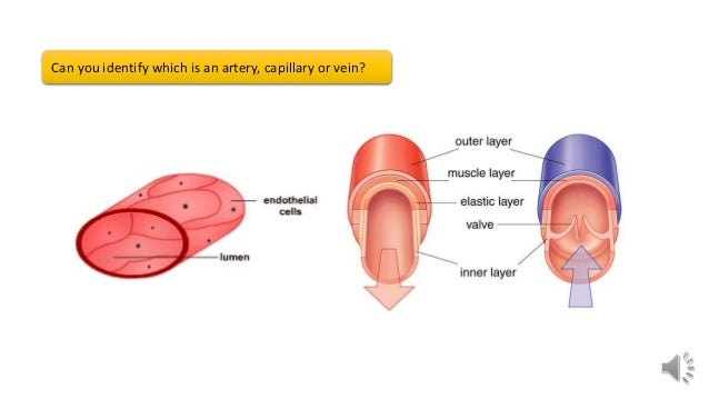 gcse pe revision structure of arteries capillaries and veins 2 638