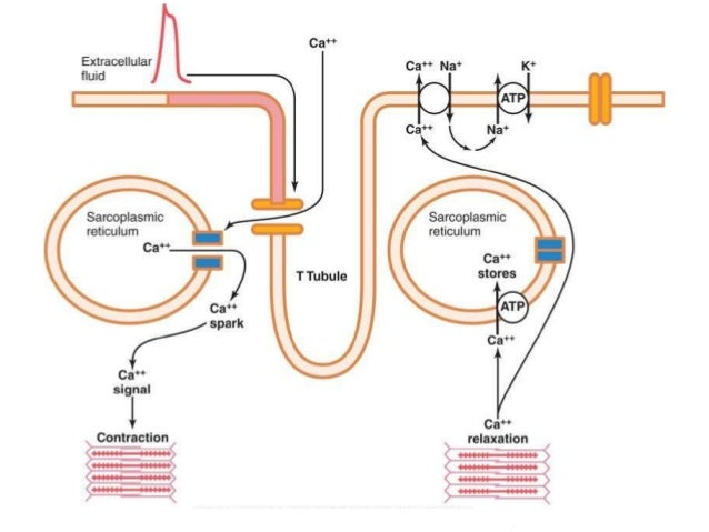 muscle contraction excitation Excitation contraction coupling is the process by which an electrical stimulus triggers  muscle action potentials produced by the excitation-contraction coupling.