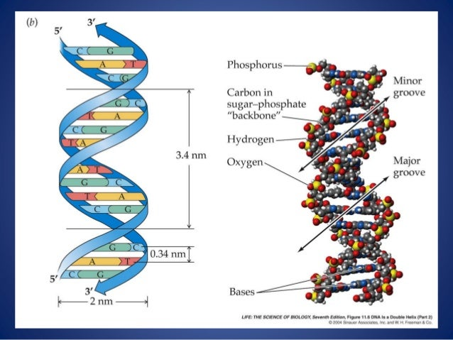 Structure of dna for medical school 37 figure 116 dna ccuart Images