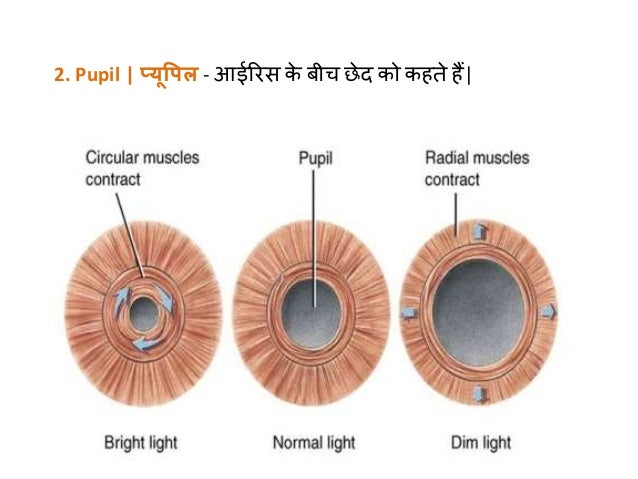 Learn about structure of human eye in hindi ccuart Gallery