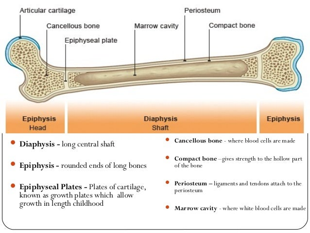 structure of long bone and bone growth. Black Bedroom Furniture Sets. Home Design Ideas