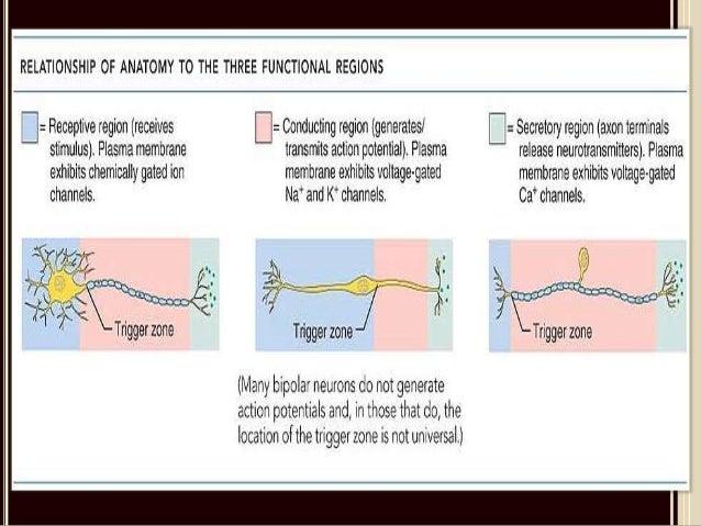 neuron types