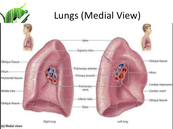 Biol 121 Anatomy Physiology I Chapter 1 Lecture Presentation Intro To The Human Body further 3 Pleurae besides 4562146 additionally Structure Of Respiratory System moreover 1 Pericardium. on visceral serous membrane