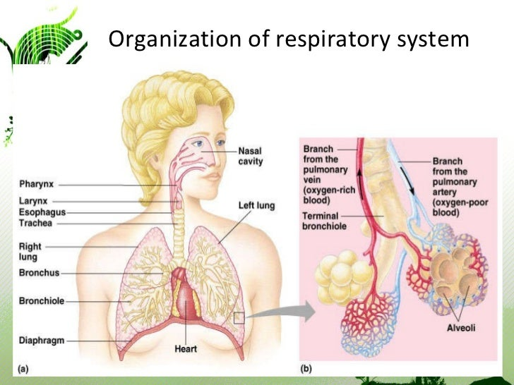 What Is the Structure and Function of the Respiratory System?