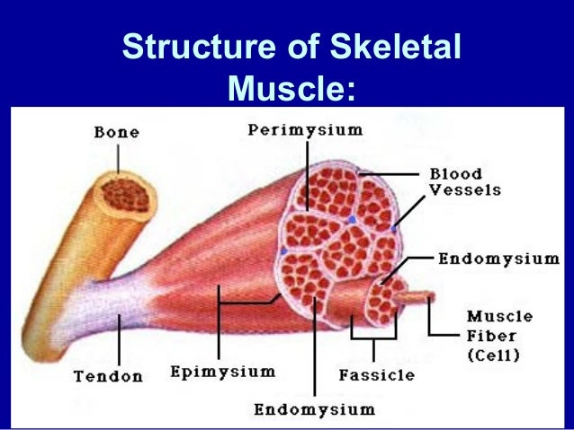 structure of skeletal muscle, Muscles
