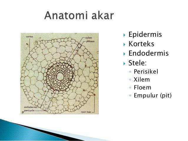 Struktur Dan Fungsi Jaringan Tumbuhan Pada Akar Dan Batang