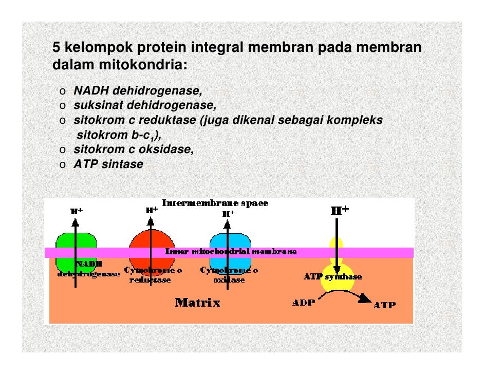 Struktur Dan Fungsi Mitokondria