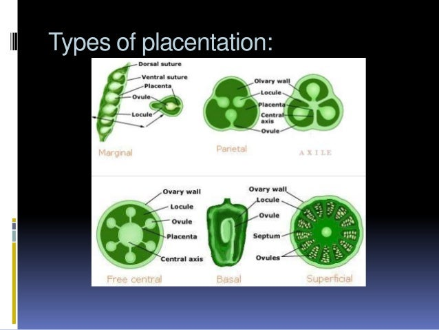 Study of angiosperm flower types of placentation ccuart Choice Image