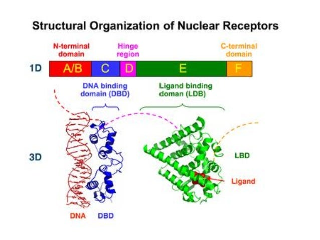 steroid hormone binding to receptor