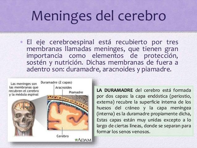 Meninges del cerebro • El eje cerebroespinal está recubierto por tres membranas llamadas meninges, que tienen gran importa...