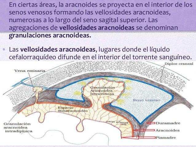 Piamadre • La piamadre es una membrana vascular recubierta de células mesoteliales aplanadas. Recubre estrechamente el cer...