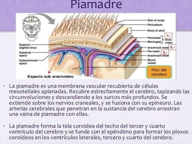 Aracnoides espinal • La aracnoides es una delicada lámina impermeable que recubre la médula espinal y que se sitúa entre l...