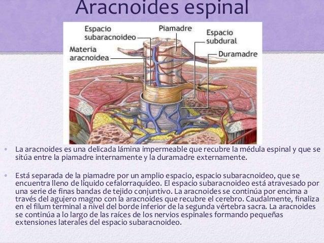 Piamadre espinal • La piamadre, una membrana vascular que recubre estrechamente la médula espinal, se encuentra engrosada ...