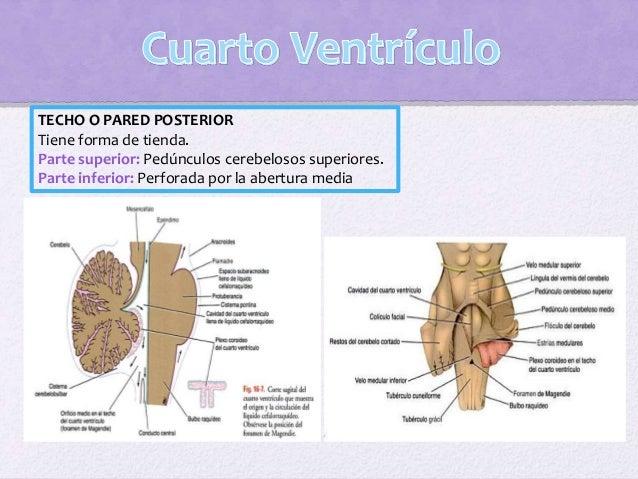 Ventrícul o Aporte sanguíneo Función Laterales Ramas coroideas de la carótida interna y de las arterias basilares Producir...