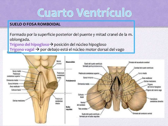 Superiormente: se abre en el cuarto ventrículo. Inferiormente: se extiende a través de la mitad inferior de la m. oblongad...