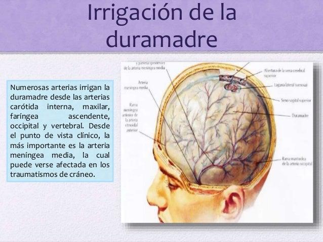 Irrigación de la duramadre Numerosas arterias irrigan la duramadre desde las arterias carótida interna, maxilar, faríngea ...
