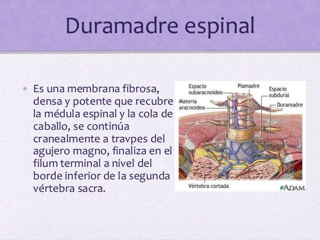 Aracnoides • Membrana delicada e impermeable, recubre el cerebro, las superficies externa e interna de la aracnoides están...
