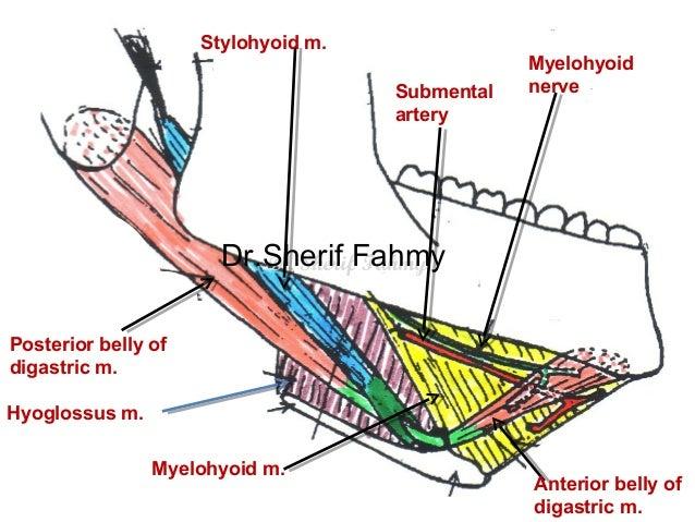 Submandibular Region (Anatomy of the Neck)