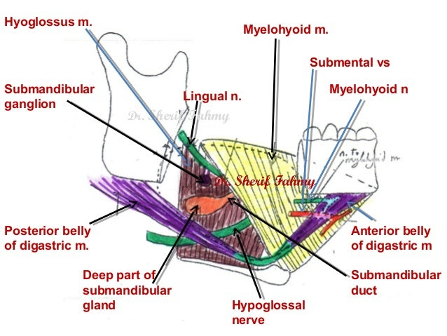 Submandibular Region Anatomy Of The Neck