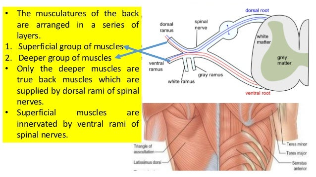 Suboccipital region and muscles of back