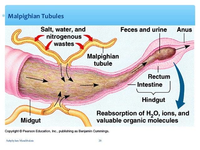 Image Gallery malpighian tubules