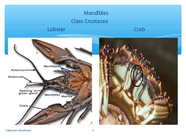 Subphylum Mandibulata (By: J.Q