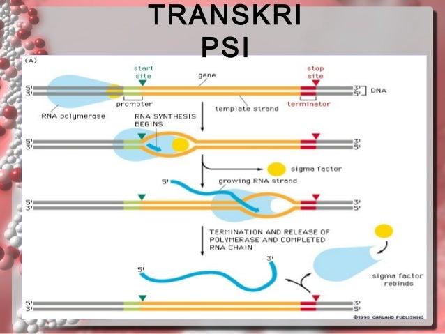 Substansigenetika rna eukariot akan diproses terlebih dahulu sebelum keluar nukleus 49 ccuart Images