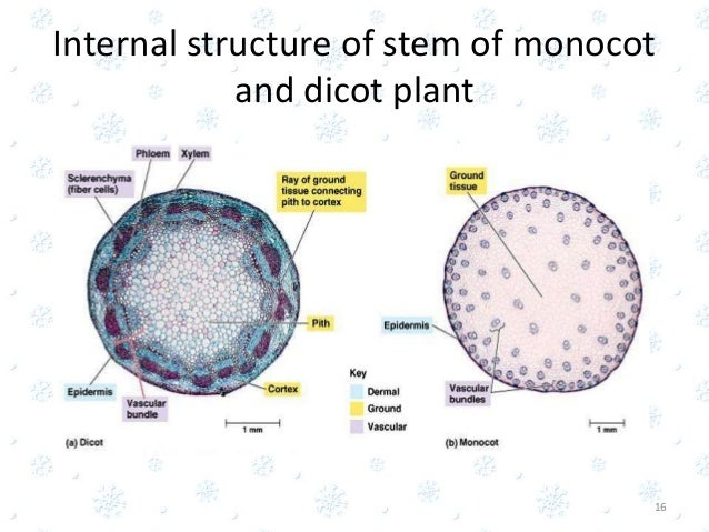 internal structure of a monocot Differences between dicot root and monocot root prateek agrawal  monocot root cortex is wide pericycle is often multilayered pericycle produces lateral roots.