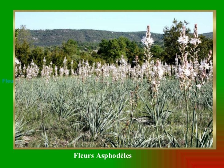 Fleurs Asphodèles Fleurs Asphodèles