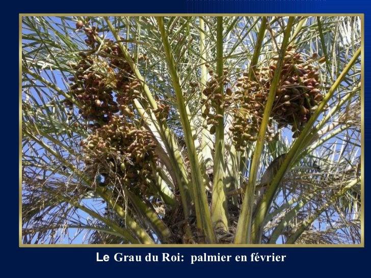 Le  Grau du Roi:  palmier en février