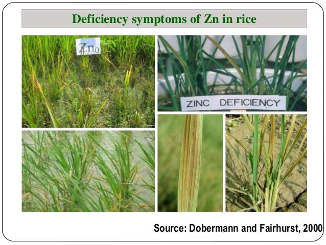 Effect of phosphorus build up on the availabiilty of zinc for Soil zinc deficiency