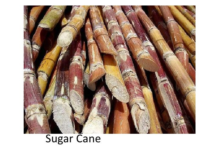 Sugar Cane<br />