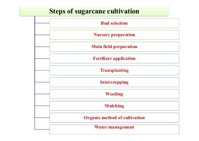 Sugarcane Cultivation
