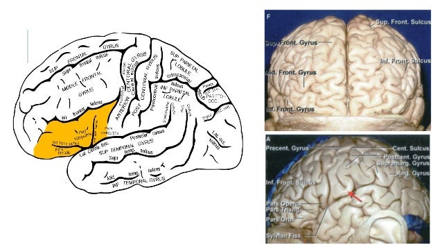 roles of the temporal and frontal 2016-7-28  lobes of the human brain (frontal lobe is shown in red) the frontal lobe is an area in the brain of mammalsit is located at the front of each cerebral hemisphere and positioned anterior to (in front of) the parietal lobes and above and anterior to the temporal.