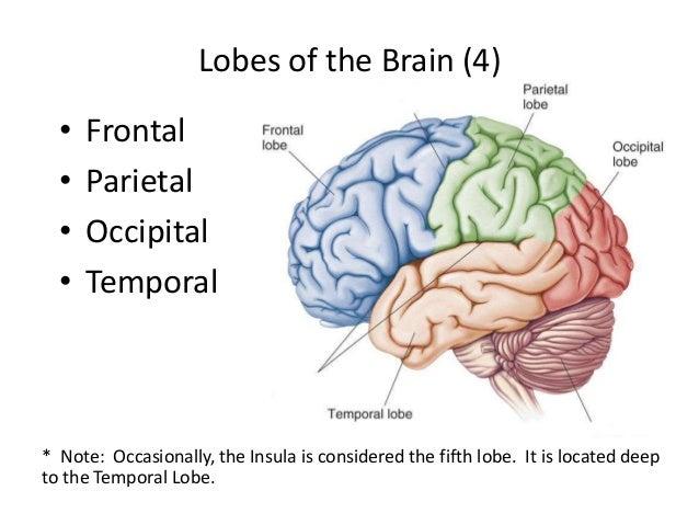Brain Gyrus Diagram - Wiring Circuit •