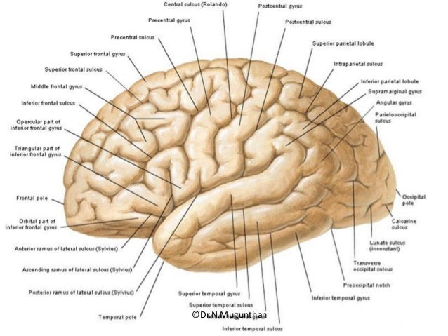 Sulci,Gyri & Functional areas of cerebrum Dr.N.Mugunthan.M.S