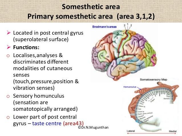 Sulcigyri functional areas of cerebrum drngunthanms ccuart Choice Image